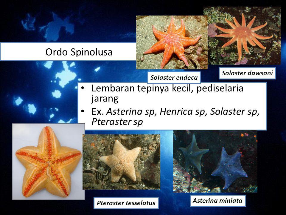 Ordo Spinolusa Lembaran tepinya kecil, pediselaria jarang Ex. Asterina sp, Henrica sp, Solaster sp, Pteraster sp Asterina miniata Pteraster tesselatus