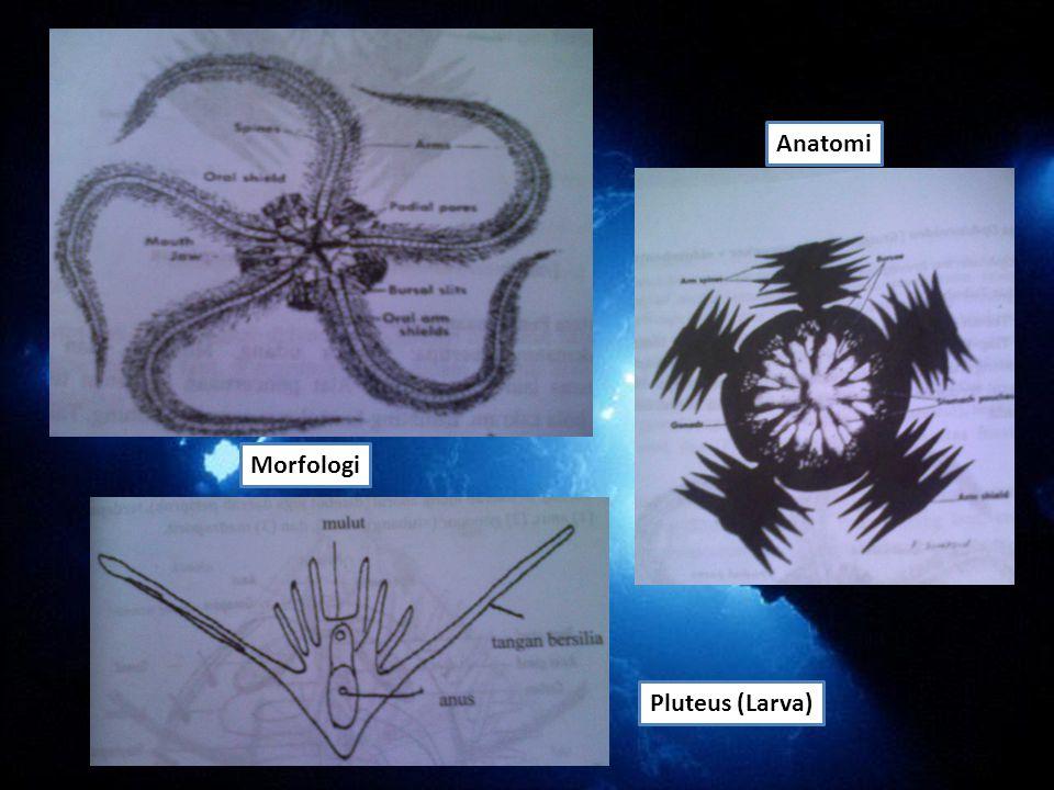 Morfologi Anatomi Pluteus (Larva)