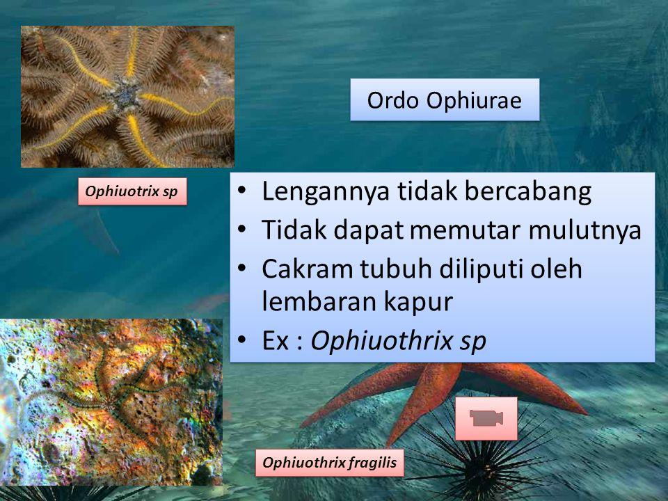 Ordo Ophiurae Lengannya tidak bercabang Tidak dapat memutar mulutnya Cakram tubuh diliputi oleh lembaran kapur Ex : Ophiuothrix sp Lengannya tidak bercabang Tidak dapat memutar mulutnya Cakram tubuh diliputi oleh lembaran kapur Ex : Ophiuothrix sp Ophiuotrix sp Ophiuothrix fragilis