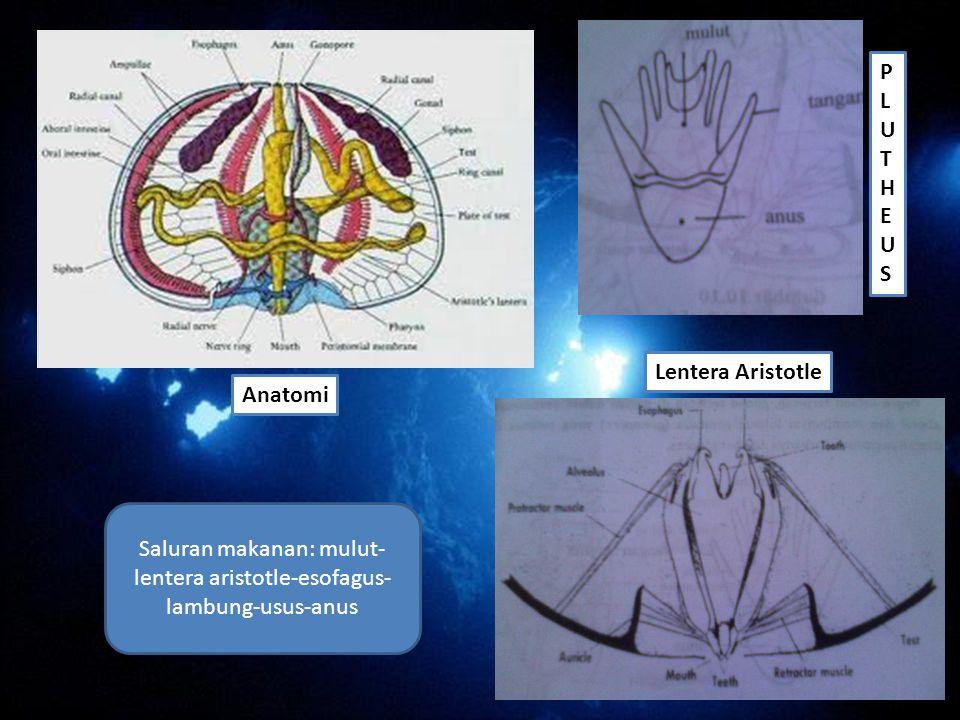 Anatomi Saluran makanan: mulut- lentera aristotle-esofagus- lambung-usus-anus Lentera Aristotle PLUTHEUSPLUTHEUS