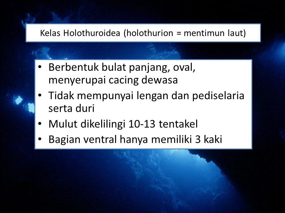 Kelas Holothuroidea (holothurion = mentimun laut) Berbentuk bulat panjang, oval, menyerupai cacing dewasa Tidak mempunyai lengan dan pediselaria serta duri Mulut dikelilingi 10-13 tentakel Bagian ventral hanya memiliki 3 kaki