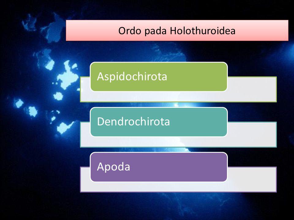 Ordo pada Holothuroidea AspidochirotaDendrochirotaApoda