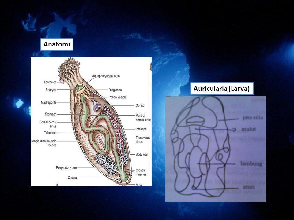 Anatomi Auricularia (Larva)