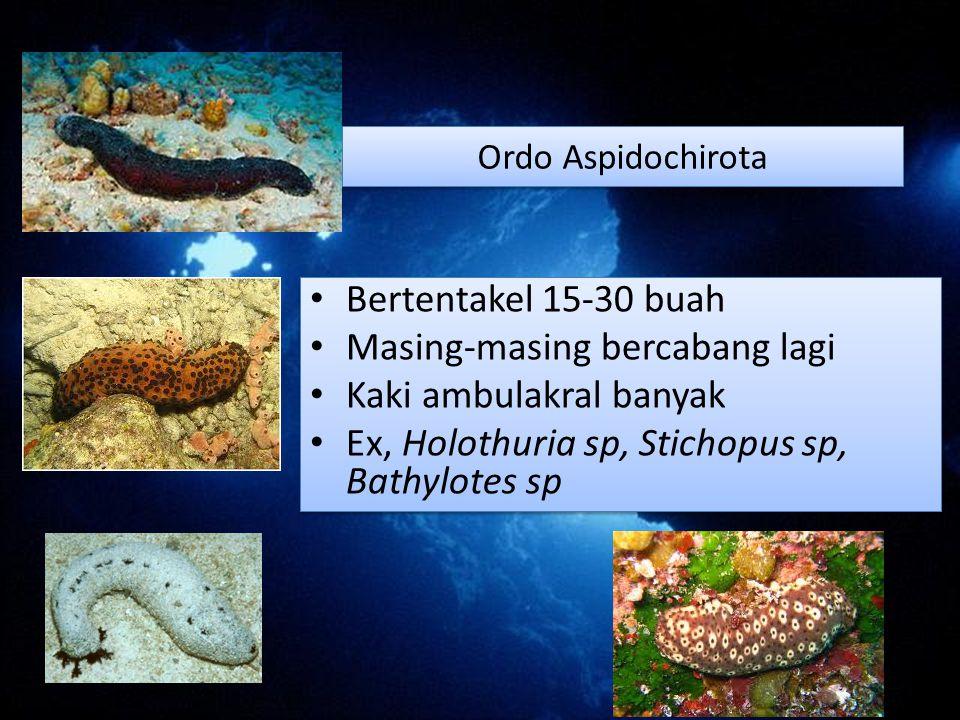 Ordo Aspidochirota Bertentakel 15-30 buah Masing-masing bercabang lagi Kaki ambulakral banyak Ex, Holothuria sp, Stichopus sp, Bathylotes sp Bertentakel 15-30 buah Masing-masing bercabang lagi Kaki ambulakral banyak Ex, Holothuria sp, Stichopus sp, Bathylotes sp