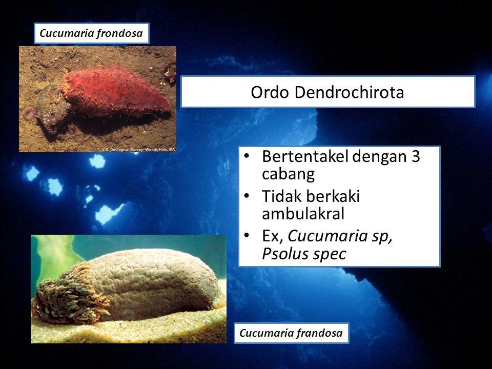 Ordo Dendrochirota Bertentakel dengan 3 cabang Tidak berkaki ambulakral Ex, Cucumaria sp, Psolus spec Cucumaria frandosa Cucumaria frondosa
