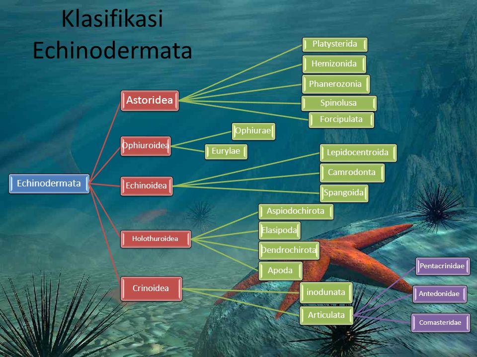 Klasifikasi Echinodermata Echinodermata Astoridea Platysterida Hemizonida Phanerozonia Spinolusa Forcipulata Ophiuroidea Ophiurae Eurylae Echinoidea L