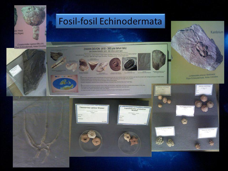Fosil-fosil Echinodermata