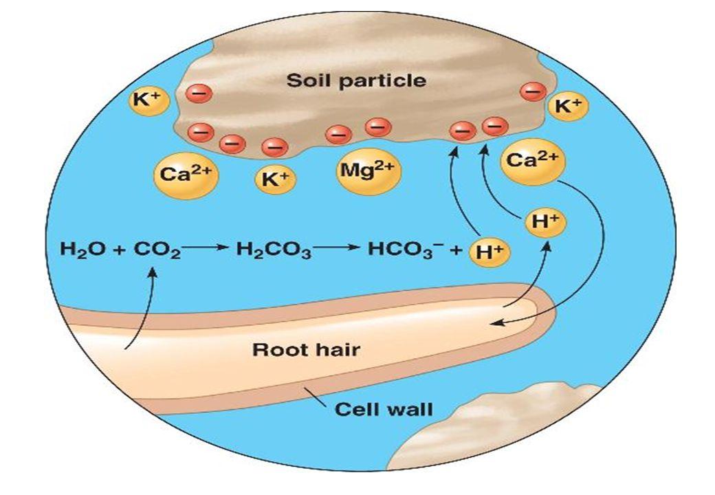 PERTUKARAN ION: Penambahan ion H + ke tanah : soil Ca+ + H+H+ H+ solution exchangeablesolution + H+ Ca+ exchangeablesolution Diunduh dari sumber: www.d.umn.edu/.../Soils/powerpoints/Soil%2...