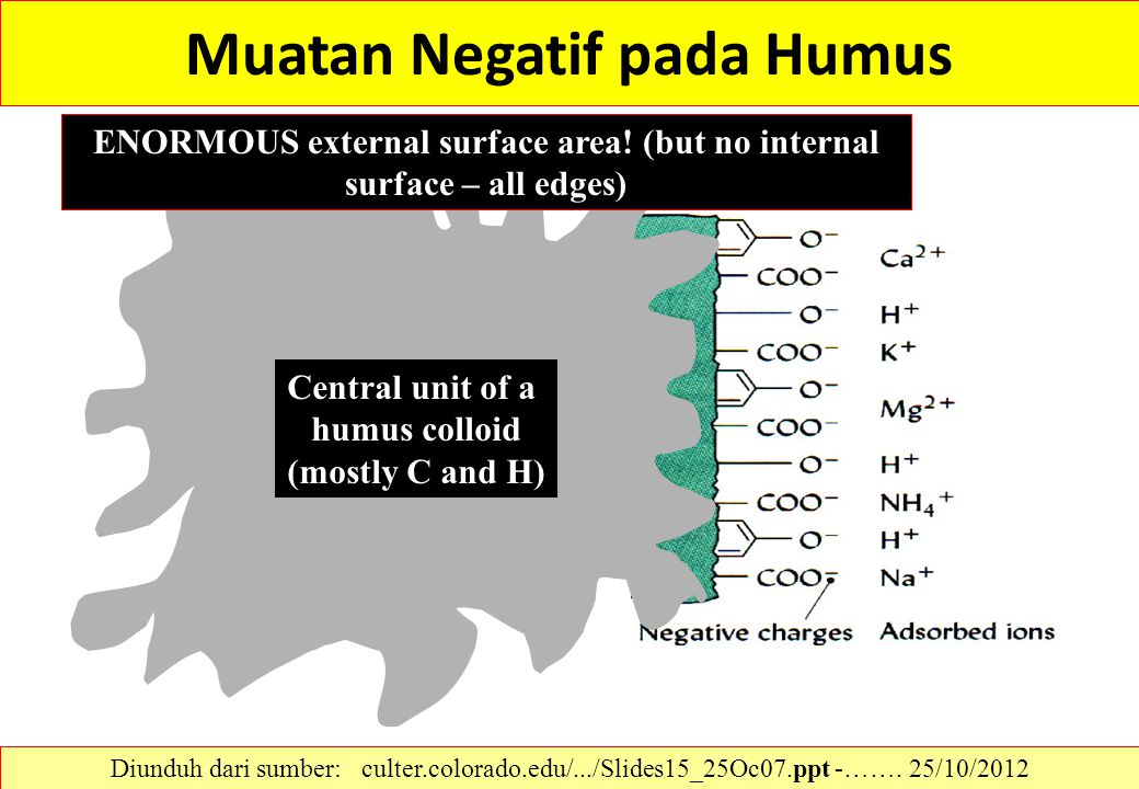 Muatan Negatif pada Humus Central unit of a humus colloid (mostly C and H) ENORMOUS external surface area! (but no internal surface – all edges) Diund