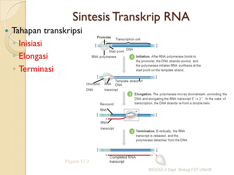 Sintesis Transkrip RNA Tahapan transkripsi ◦ Inisiasi ◦ Elongasi ◦ Terminasi Figure 17.7 Promoter Transcription unit RNA polymerase Start point 5353 3