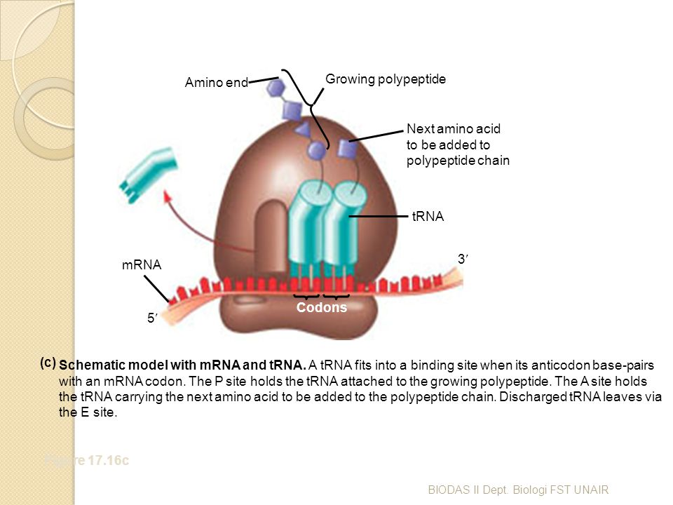 Figure 17.16c Amino end Growing polypeptide Next amino acid to be added to polypeptide chain tRNA mRNA Codons 3 5 Schematic model with mRNA and tRNA.