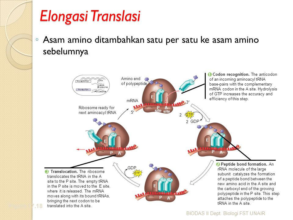 Elongasi Translasi ◦ Asam amino ditambahkan satu per satu ke asam amino sebelumnya Figure 17.18 Amino end of polypeptide mRNA Ribosome ready for next