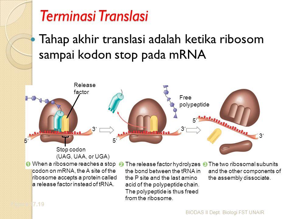 Terminasi Translasi Tahap akhir translasi adalah ketika ribosom sampai kodon stop pada mRNA Figure 17.19 Release factor Free polypeptide Stop codon (U