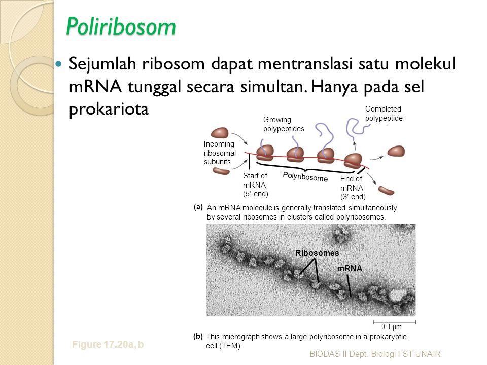 Poliribosom Sejumlah ribosom dapat mentranslasi satu molekul mRNA tunggal secara simultan. Hanya pada sel prokariota Figure 17.20a, b Growing polypept