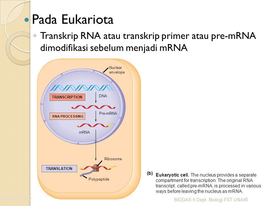 Split Genes dan RNA Splicing Penyambungan RNA / RNA splicing ◦ Memindahkan intron dan menggabungkan exon Figure 17.10 TRANSCRIPTION RNA PROCESSING DNA Pre-mRNA mRNA TRANSLATION Ribosome Polypeptide 5 Cap Exon Intron 1 5 30 31 Exon Intron 104105146 Exon 3 Poly-A tail Introns cut out and exons spliced together Coding segment 5 Cap 1 146 3 UTR Pre-mRNA mRNA BIODAS II Dept.