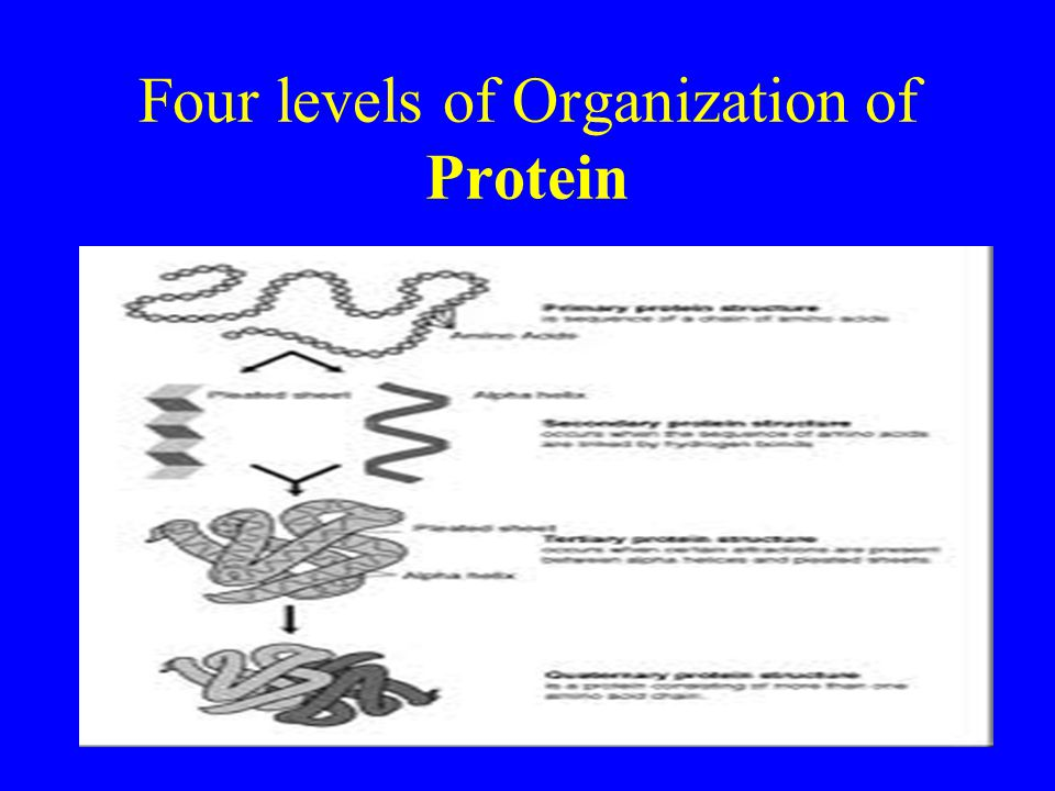 Four levels of Organization of Protein