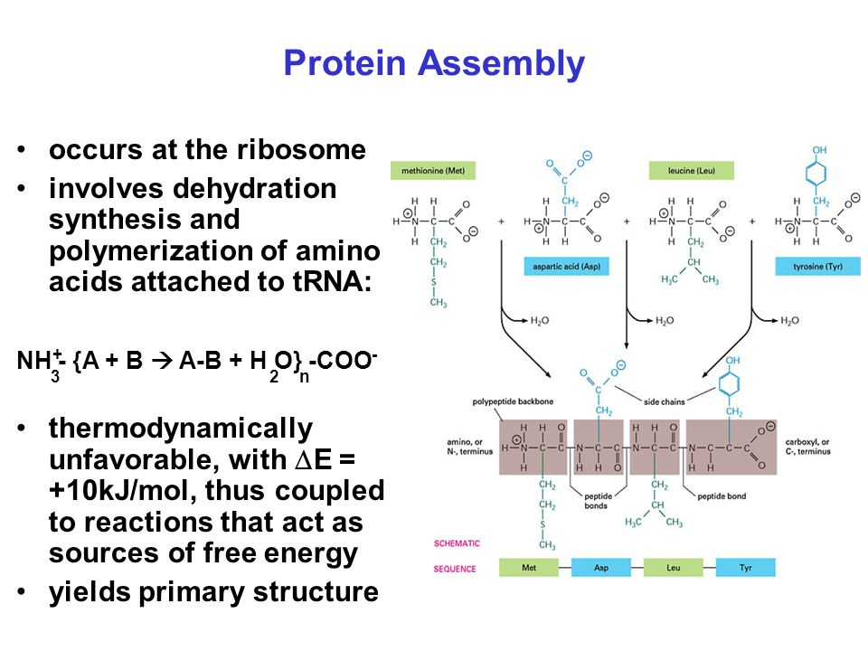 Protein Assembly occurs at the ribosome involves dehydration synthesis and polymerization of amino acids attached to tRNA: NH - {A + B  A-B + H O} -COO thermodynamically unfavorable, with  E = +10kJ/mol, thus coupled to reactions that act as sources of free energy yields primary structure 2n3 +-