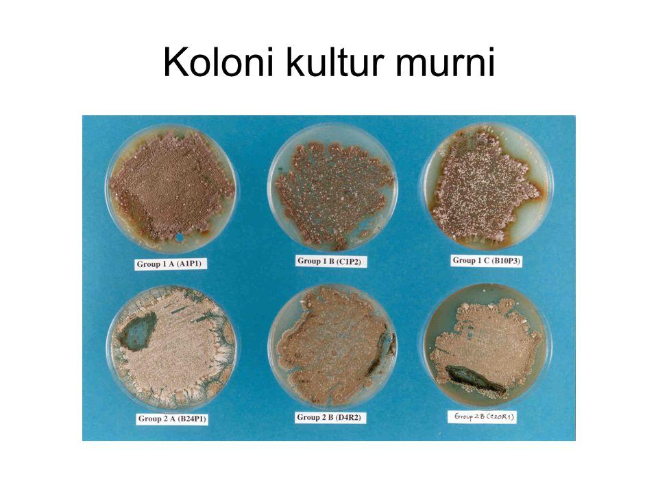 Koloni kultur murni