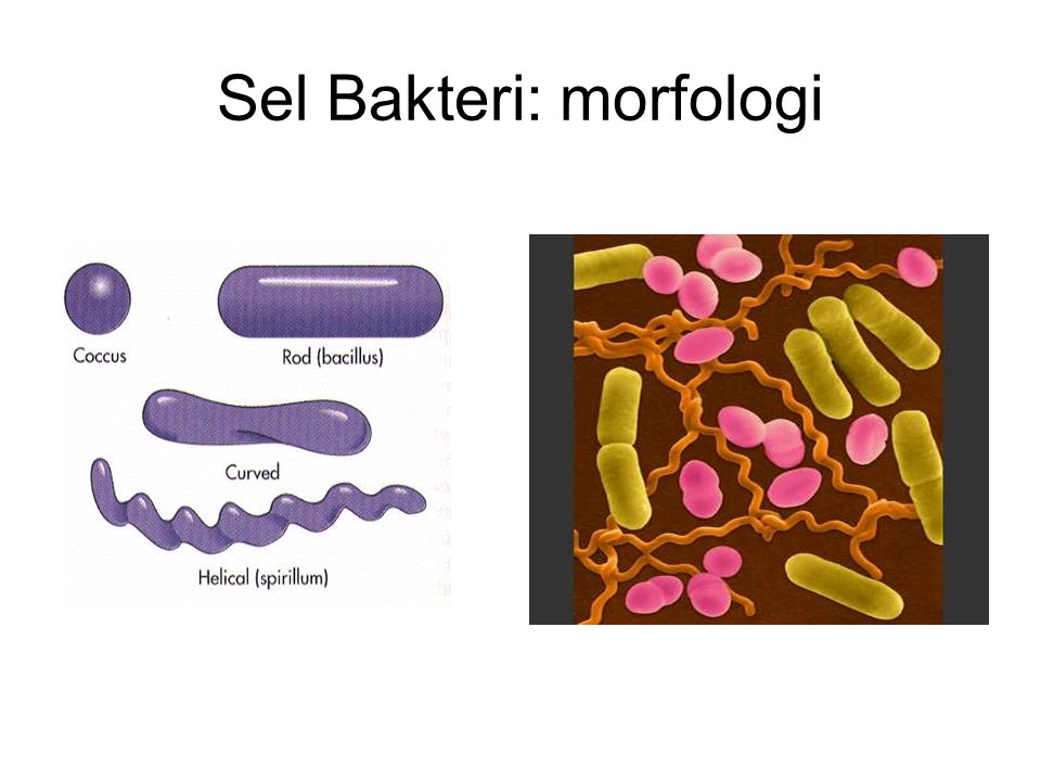 Sel Bakteri: morfologi