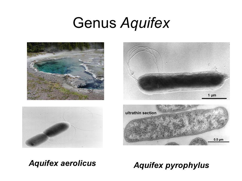 Genus Aquifex Aquifex pyrophylus Aquifex aerolicus