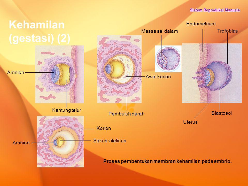 Kehamilan (gestasi) (2) Proses pembentukan membran kehamilan pada embrio. Amnion Korion Sakus vitelinus Kantung telur Pembuluh darah Awal korion Massa