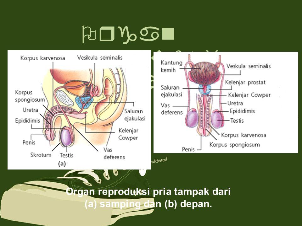 Organ reproduksi dalam Organ reproduksi pria tampak dari (a) samping dan (b) depan.