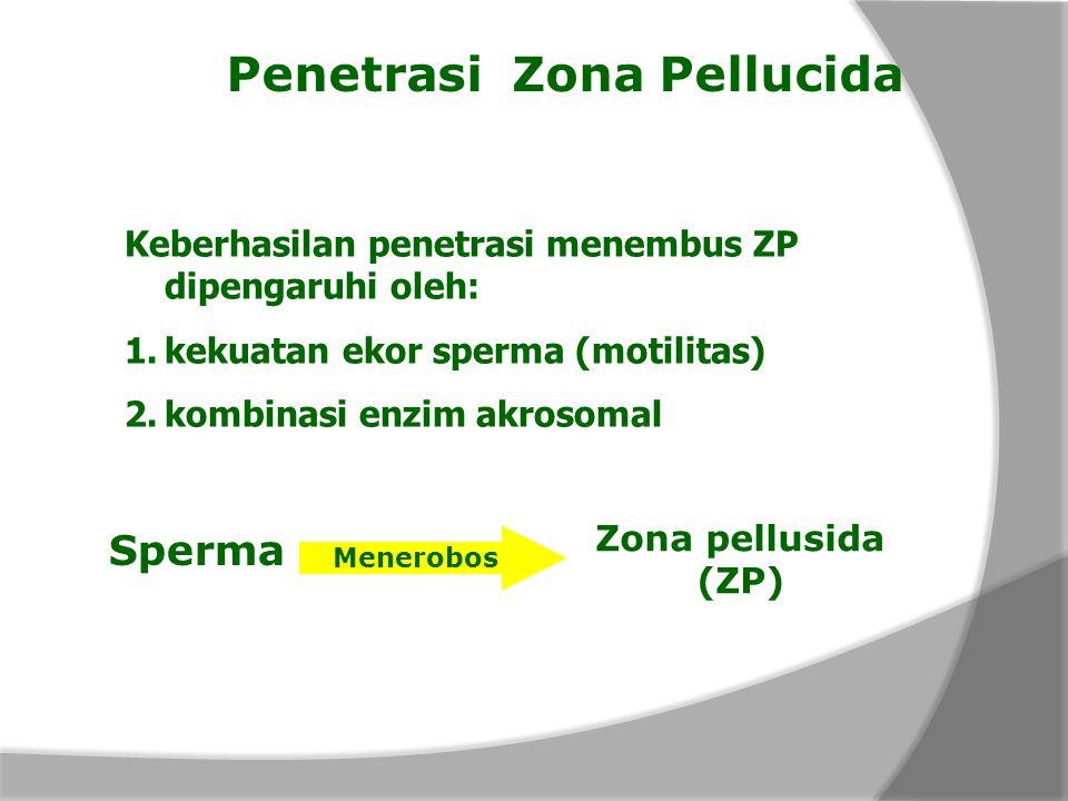 Penetrasi Zona Pellucida Keberhasilan penetrasi menembus ZP dipengaruhi oleh: 1.kekuatan ekor sperma (motilitas) 2.kombinasi enzim akrosomal Sperma Zo