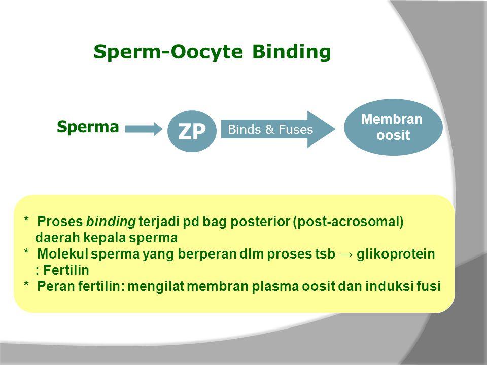 Sperm-Oocyte Binding Sperma ZP Binds & Fuses Membran oosit * Proses binding terjadi pd bag posterior (post-acrosomal) daerah kepala sperma * Molekul s