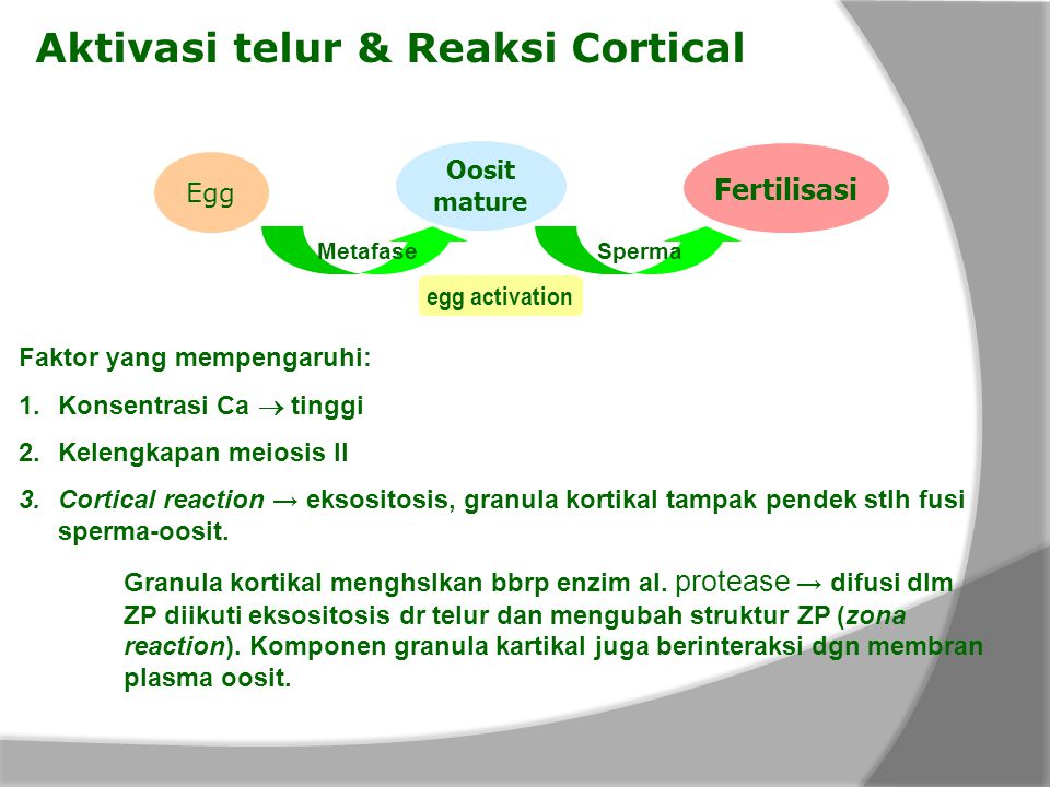 Aktivasi telur & Reaksi Cortical Oosit mature Egg MetafaseSperma Fertilisasi egg activation Faktor yang mempengaruhi: 1.Konsentrasi Ca  tinggi 2.Kelengkapan meiosis II 3.Cortical reaction → eksositosis, granula kortikal tampak pendek stlh fusi sperma-oosit.