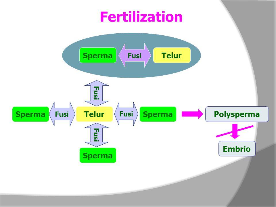 Fertilization SpermaTelur Fusi SpermaTelur Fusi Sperma Polysperma Embrio
