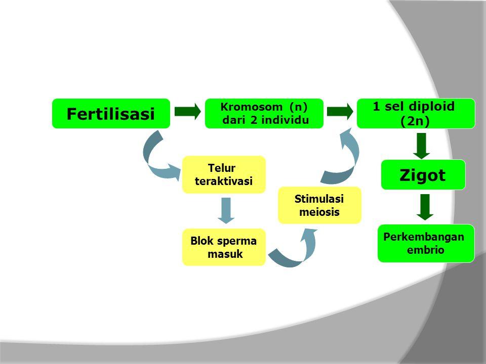 Fertilisasi Kromosom (n) dari 2 individu 1 sel diploid (2n) Zigot Telur teraktivasi Blok sperma masuk Stimulasi meiosis Perkembangan embrio