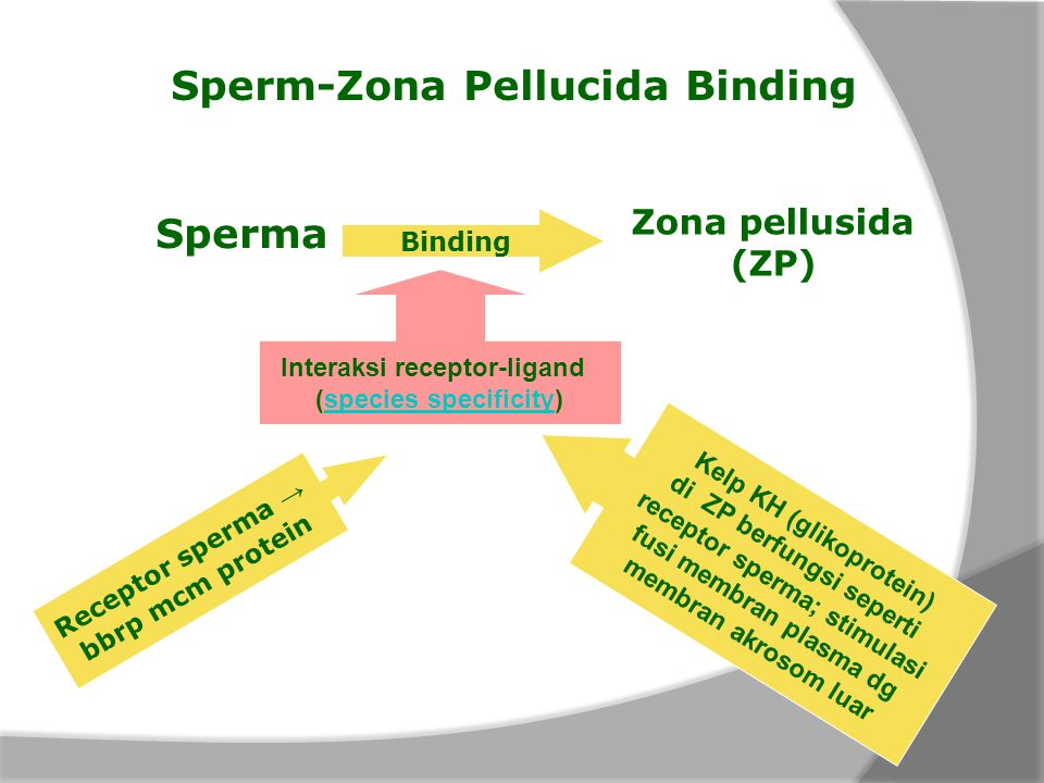 Sperm-Zona Pellucida Binding Sperma Zona pellusida (ZP) Binding Interaksi receptor-ligand (species specificity)species specificity Kelp KH (glikoprote