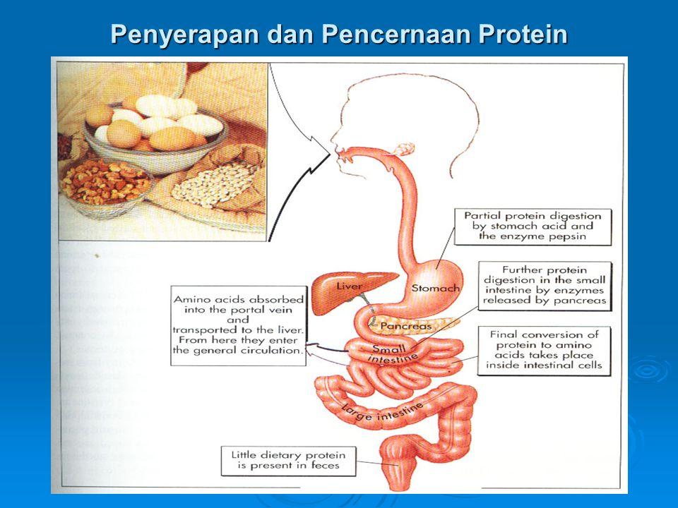Penyerapan dan Pencernaan Protein