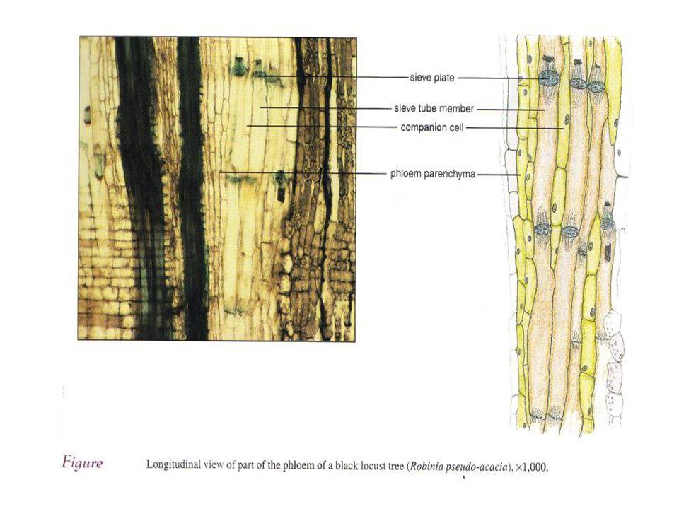 STRUKTUR ELEMEN TAPIS - dinding lebih tebal dari sel parenkim - dinding terdiri dari selulosa/pektin - mempunyai daerah tapis - mempunyai papan tapis - mempunyai sel pengantar - Setiap pori berlapis kalose (karbohidrat ) STRUKTUR SEL SKLERENKIM SERAT -sel panjang, dinding tebal -sebagai serat ekonomi (nenas, rami) -menyimpan cadangan makanan SKLEREID - sel panjang, bercabang
