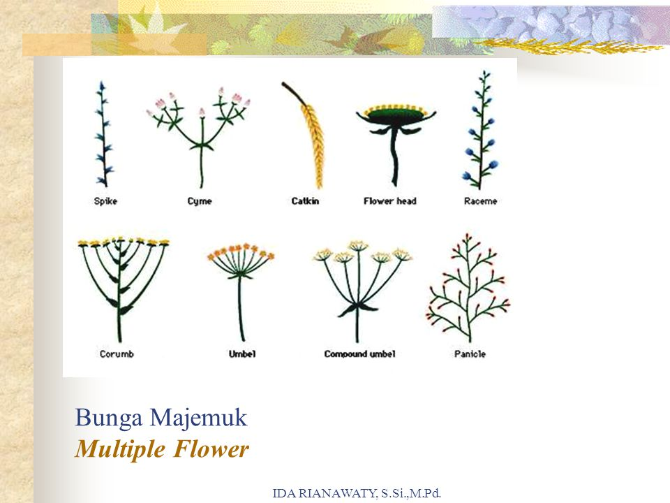 Bunga Majemuk Multiple Flower IDA RIANAWATY, S.Si.,M.Pd.