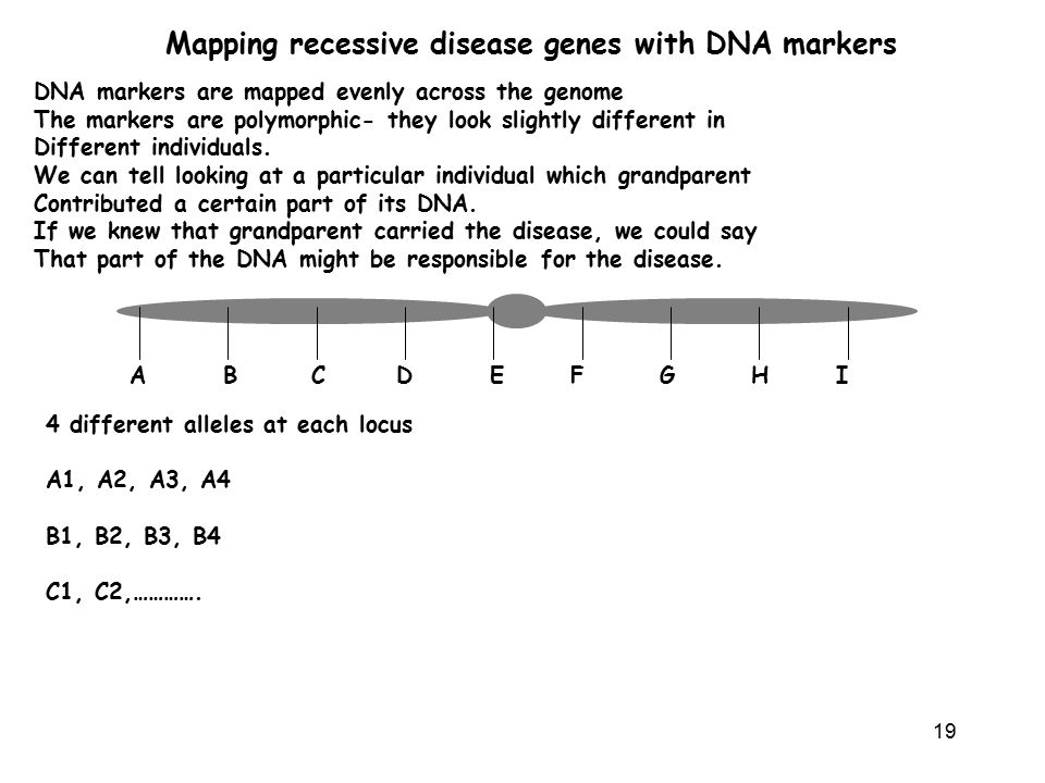 19 Mapping recessive disease genes with DNA markers DNA markers are mapped evenly across the genome The markers are polymorphic- they look slightly different in Different individuals.