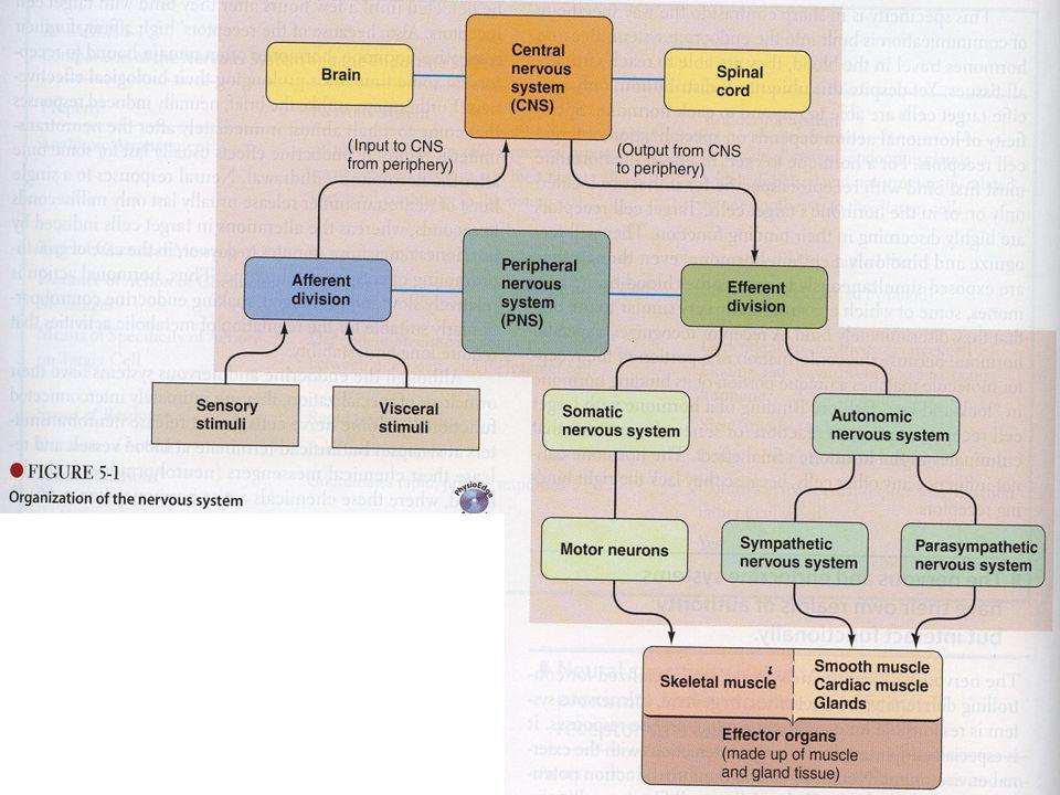 Reflex arc pathway followed by nerve impulses that produce a reflex (reflex circuit)