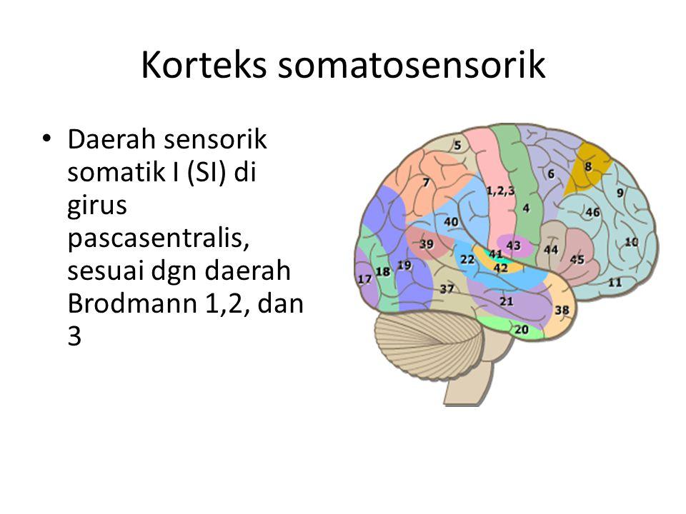 Korteks somatosensorik Daerah sensorik somatik I (SI) di girus pascasentralis, sesuai dgn daerah Brodmann 1,2, dan 3