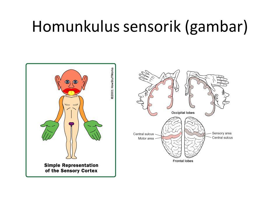Homunkulus sensorik (gambar)