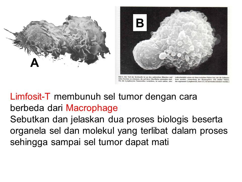 Limfosit-T membunuh sel tumor dengan cara berbeda dari Macrophage Sebutkan dan jelaskan dua proses biologis beserta organela sel dan molekul yang terl