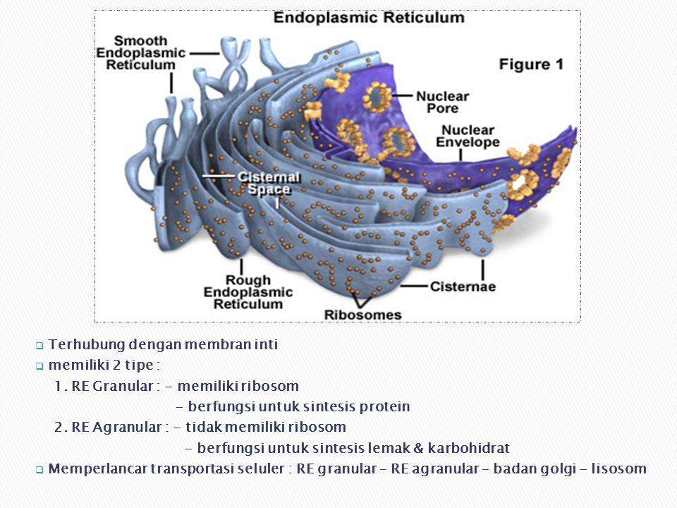  Terhubung dengan membran inti  memiliki 2 tipe : 1.