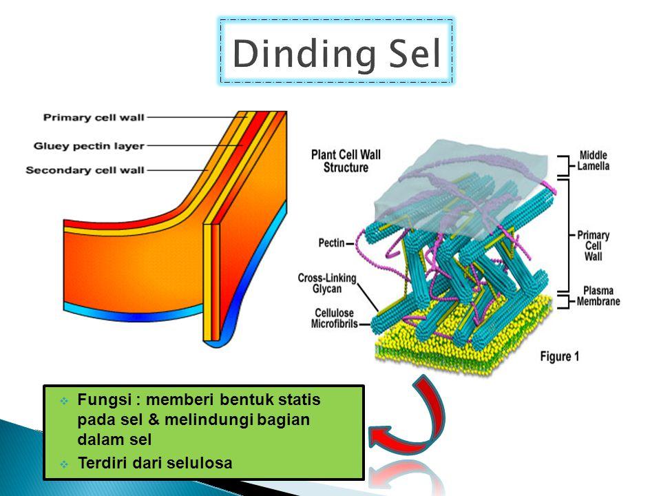  Fungsi : memberi bentuk statis pada sel & melindungi bagian dalam sel  Terdiri dari selulosa