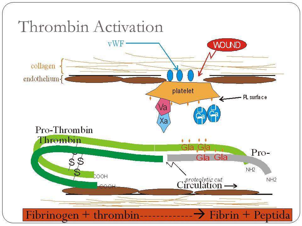 Thrombin Activation Fibrinogen + thrombin-------------  Fibrin + Peptida