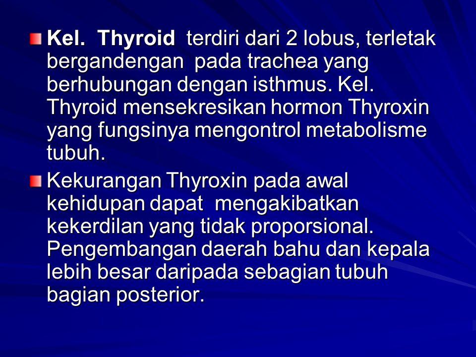 Kel. Thyroid terdiri dari 2 lobus, terletak bergandengan pada trachea yang berhubungan dengan isthmus. Kel. Thyroid mensekresikan hormon Thyroxin yang