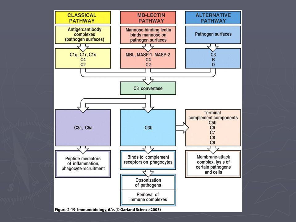 Aktivasi Komplemen Menghasilkan sejumlah molekul efektor: ► Anafilatoksin ► Kemotaksin ► Adheren imun ► Opsonin ► MAC