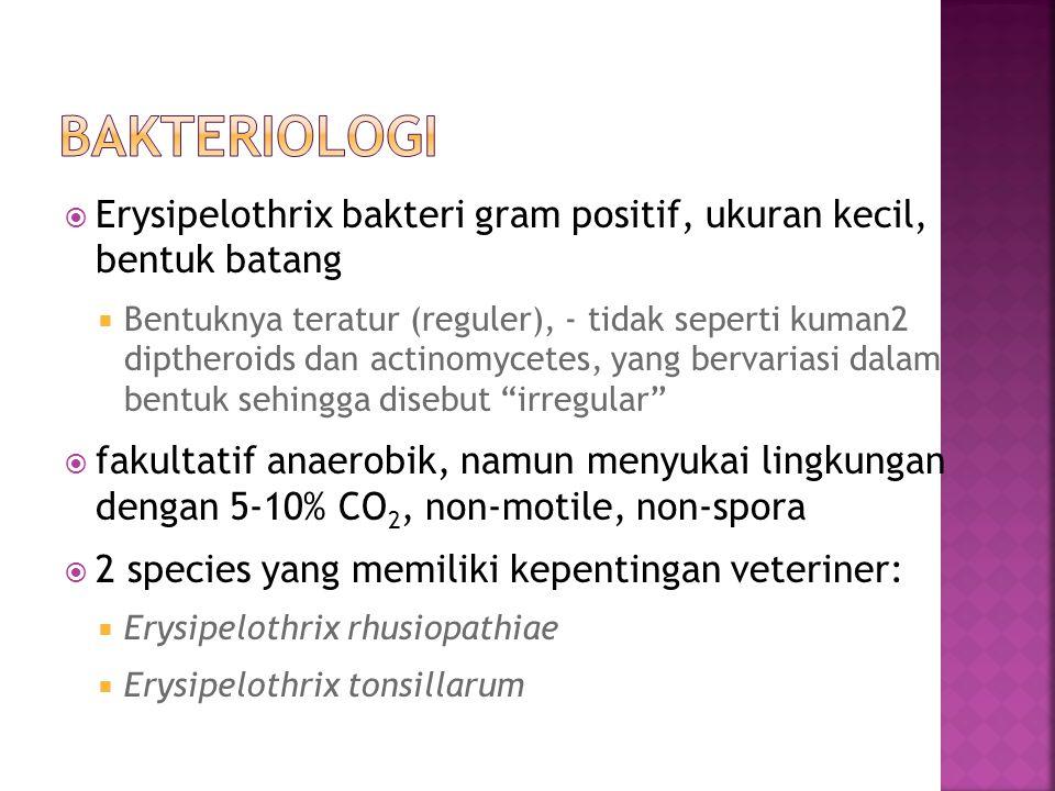  Erysipelothrix bakteri gram positif, ukuran kecil, bentuk batang  Bentuknya teratur (reguler), - tidak seperti kuman2 diptheroids dan actinomycetes, yang bervariasi dalam bentuk sehingga disebut irregular  fakultatif anaerobik, namun menyukai lingkungan dengan 5-10% CO 2, non-motile, non-spora  2 species yang memiliki kepentingan veteriner:  Erysipelothrix rhusiopathiae  Erysipelothrix tonsillarum