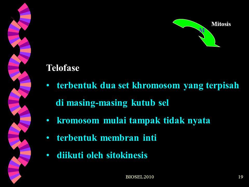 BIOSEL 201019 M Mitosis Telofase terbentuk dua set khromosom yang terpisah di masing-masing kutub sel kromosom mulai tampak tidak nyata terbentuk memb