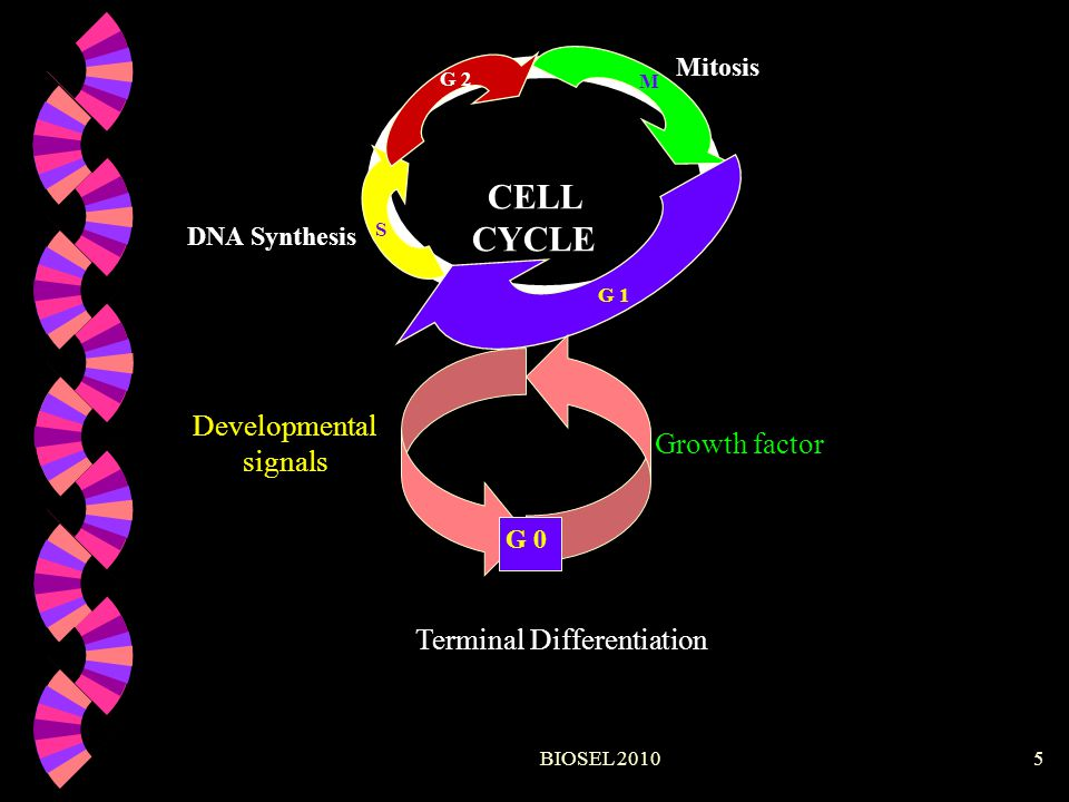 BIOSEL 20105 CELL CYCLE G 1 S G 2 M Mitosis DNA Synthesis G 0 Growth factor Developmental signals Terminal Differentiation