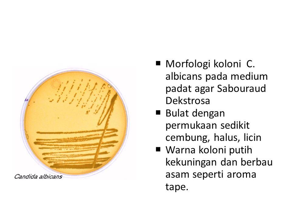 Kandidosis kutis  Bentuk klinis:  Kandidosis intertriginosa: Lesi di daerah lipatan kulit ketiak, lipat paha, intergluteal, lipat payudara, sela jar