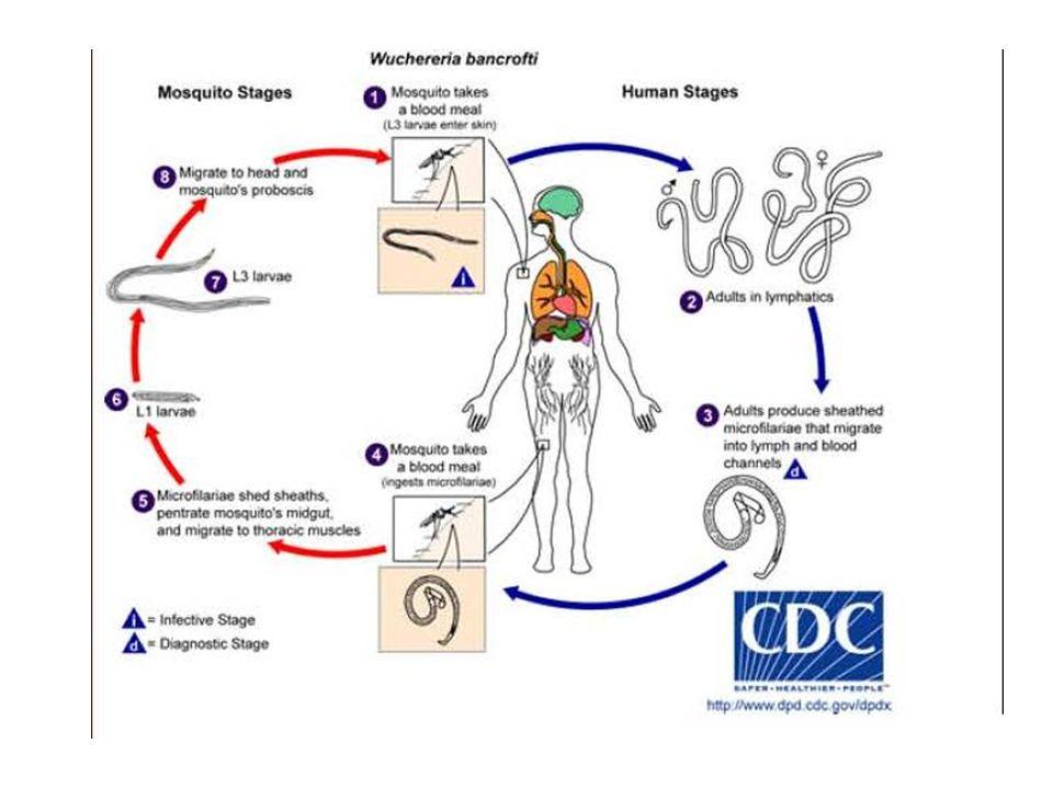 Filariasis  Penyakit yang disebabkan cacing Filariidae, dibagi menjadi 3 berdasarkan habitat cacing dewasa di hospes:  Kutaneus: Loa loa, Onchocerca